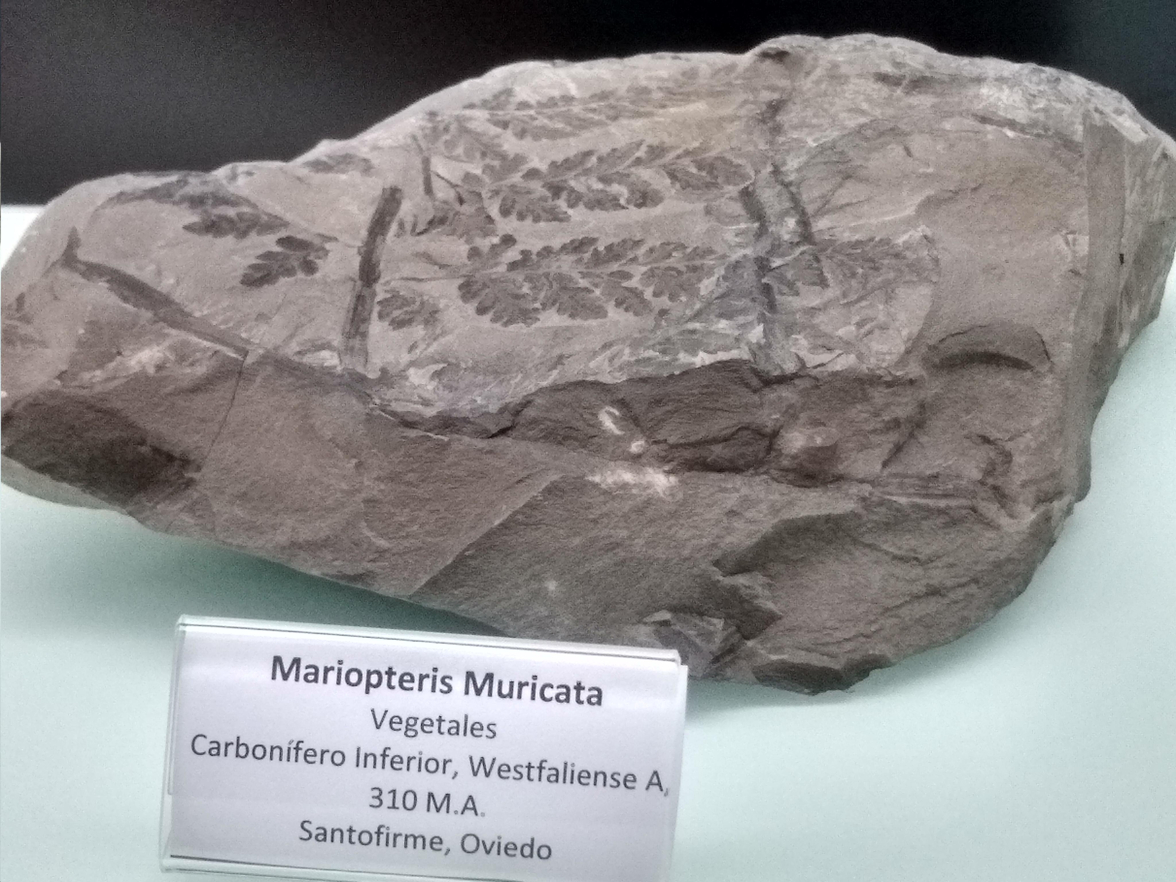 Fósil vegetal de Mariopteris Muricata, es una plantita con hojas similares al helecho