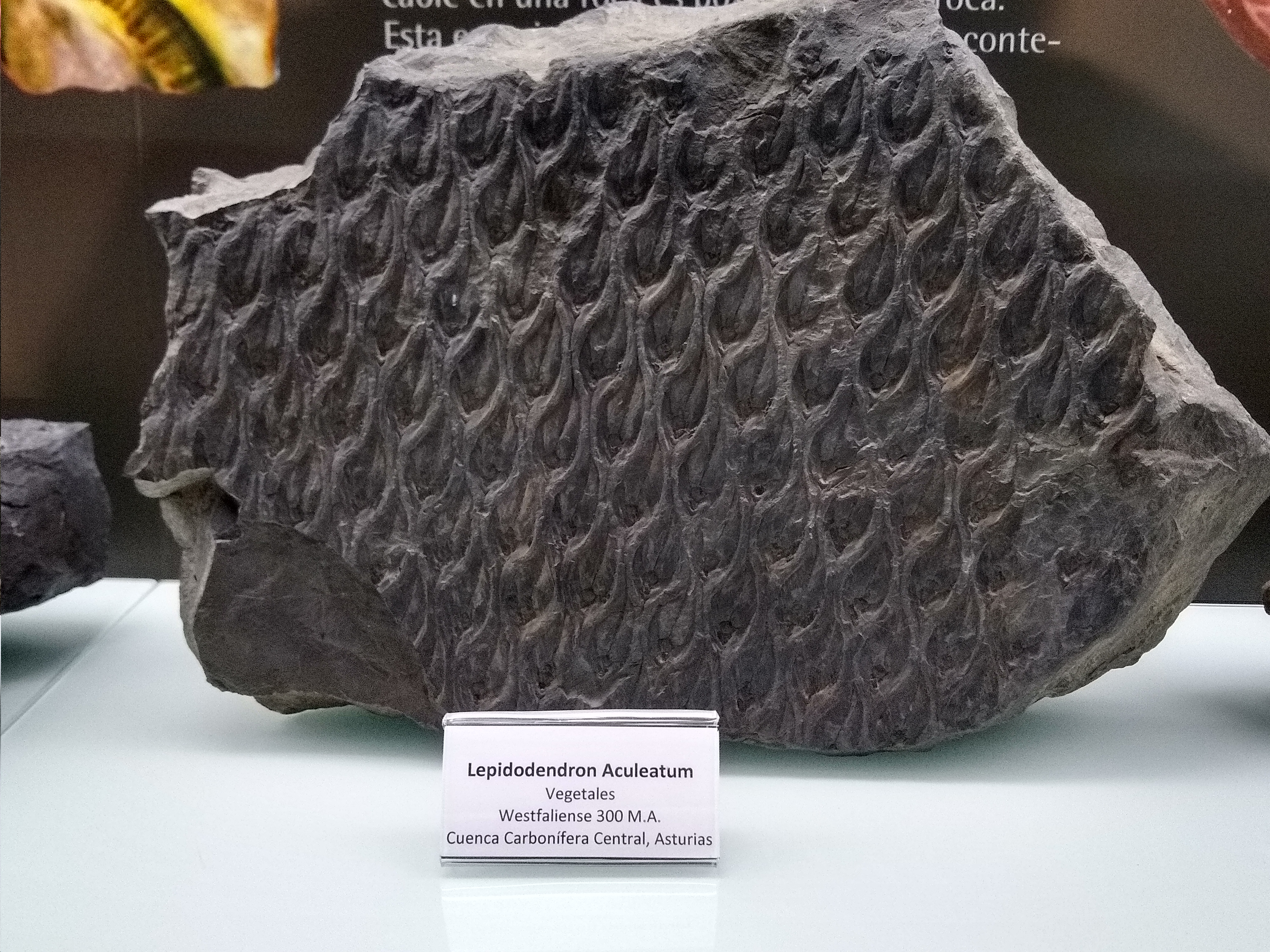 Corteza de un árbol del carbonífero, es similar a la superficie de una piña, debía tener el mismo tacto